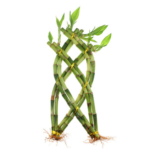 Live Lucky Bamboo 8 Stalk Braided Trellis with Buddha Pot