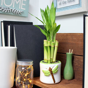 Potted Lucky Bamboo Bundle- 4 inch Stalks Bundle of Ten W/ Pot and 10 oz of gravel.