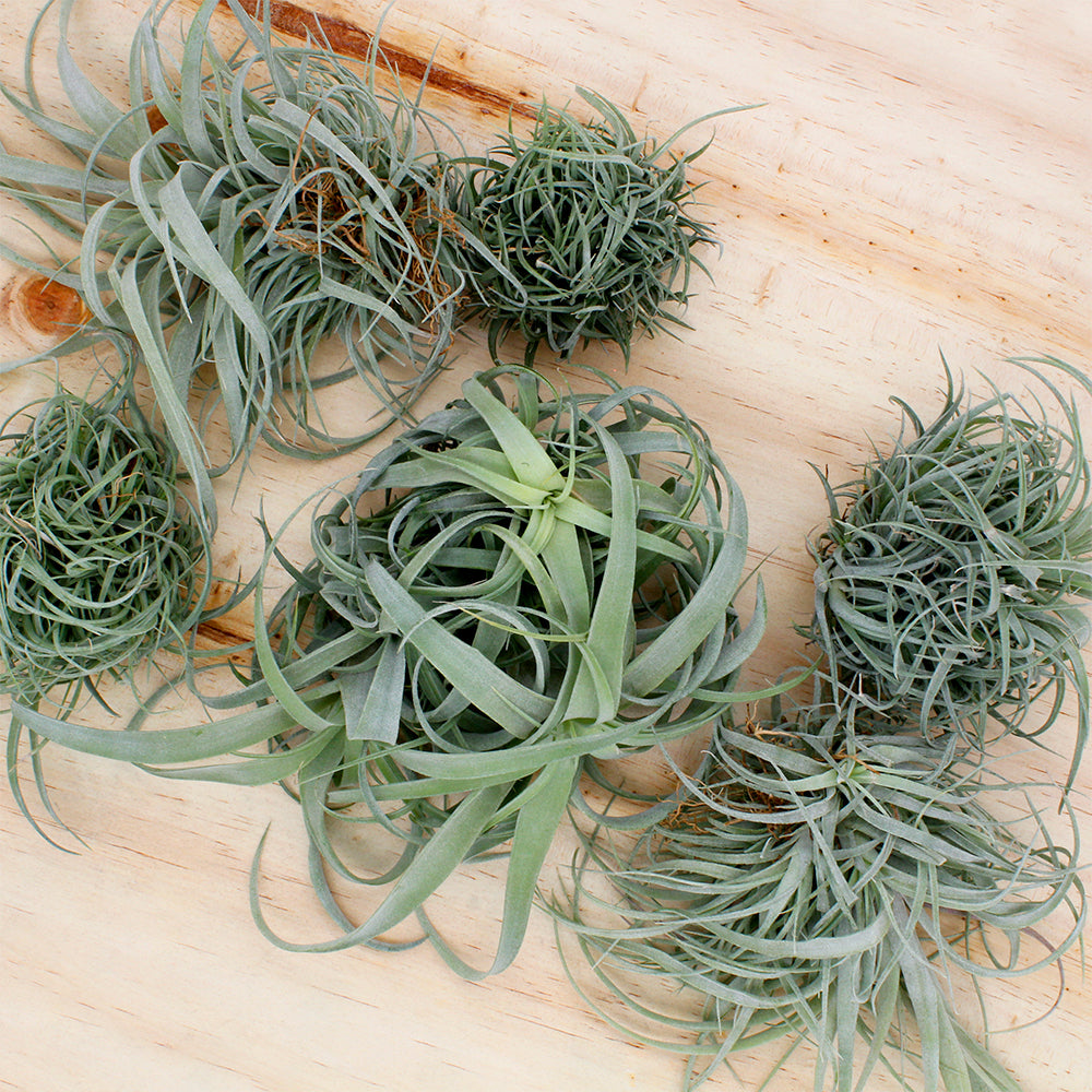 Tillandsia Air Plant Clump - Small and Large Sizes
