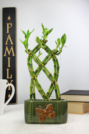 Live Lucky Bamboo 8 Stalk Braided Trellis with Butterfly Pot