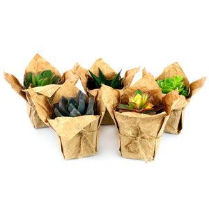 "Wedding Favors 2.25"" Succulents in Craft Paper, Burlap String, Personal Card - Mixed Varieties - Bundle of 50, 100"
