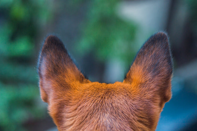 Don't just play it by EAR, learn how to clean & care for your dog's HEARing here.