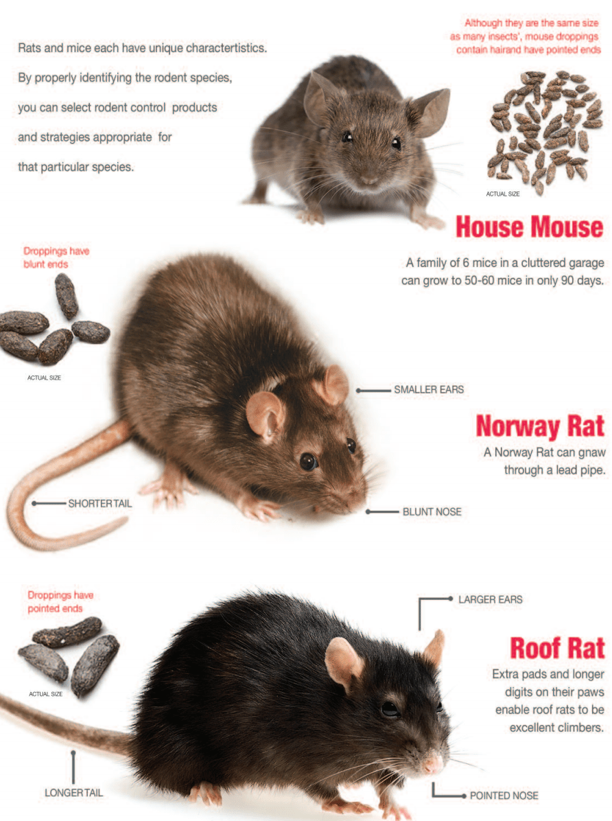 Identifying types of rodents