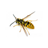 Wasp | Hornets | Yellow Jackets
