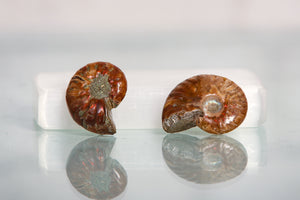 Rainbow fossilized Ammonite