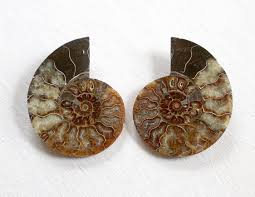 Ammonite Cross Section 1.25 Inch