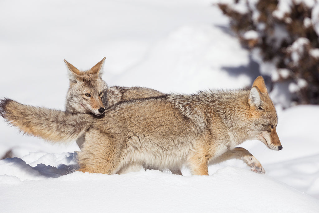 Wolves playing in the snow