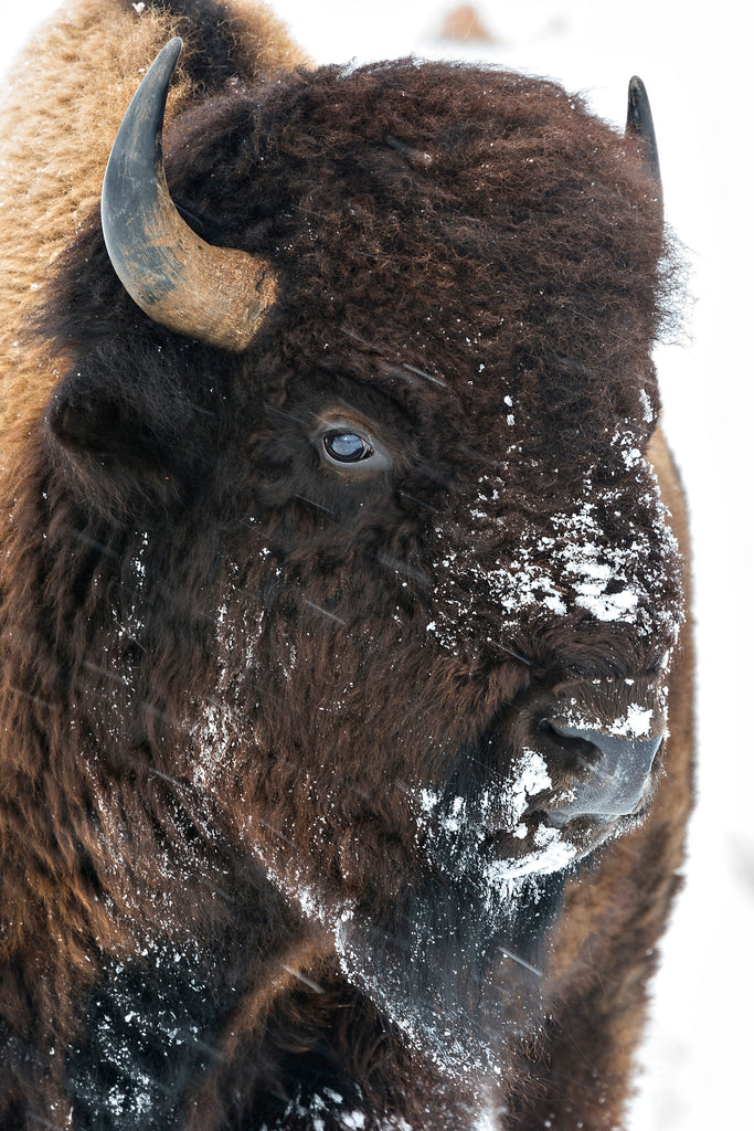Portrait of a bison's head in the snow