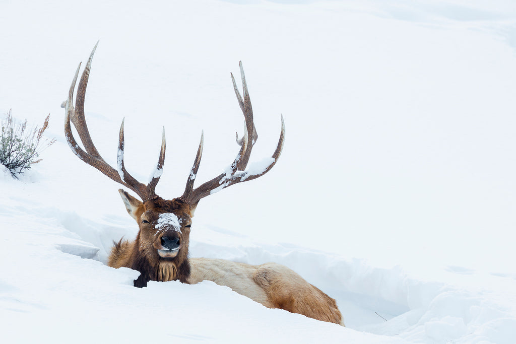 Deer sitting in the snow in Yellowstone