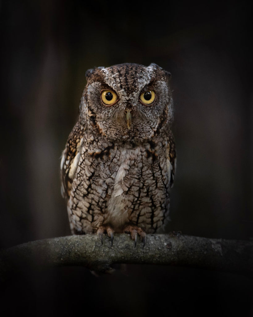 Owl against a dark background