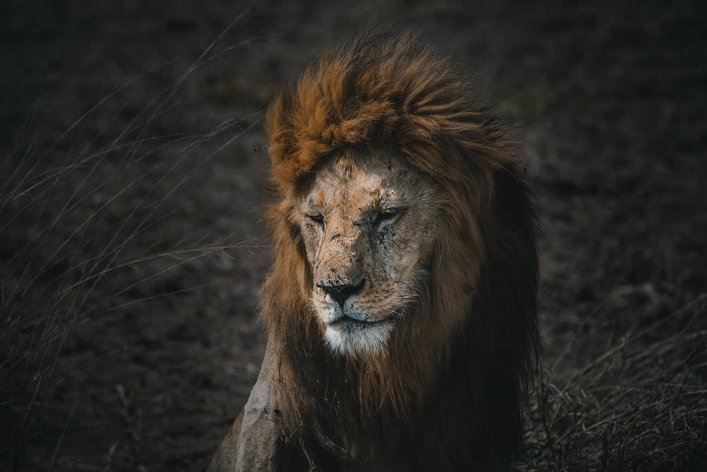 Lion portrait in Africa by Simon Markhof with Vallerret Photography gloves