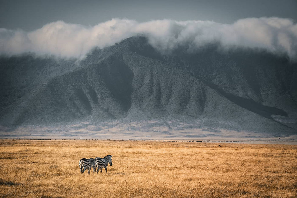 Zebras in Africa photo by Simon Markhof with Vallerret Photography Gloves