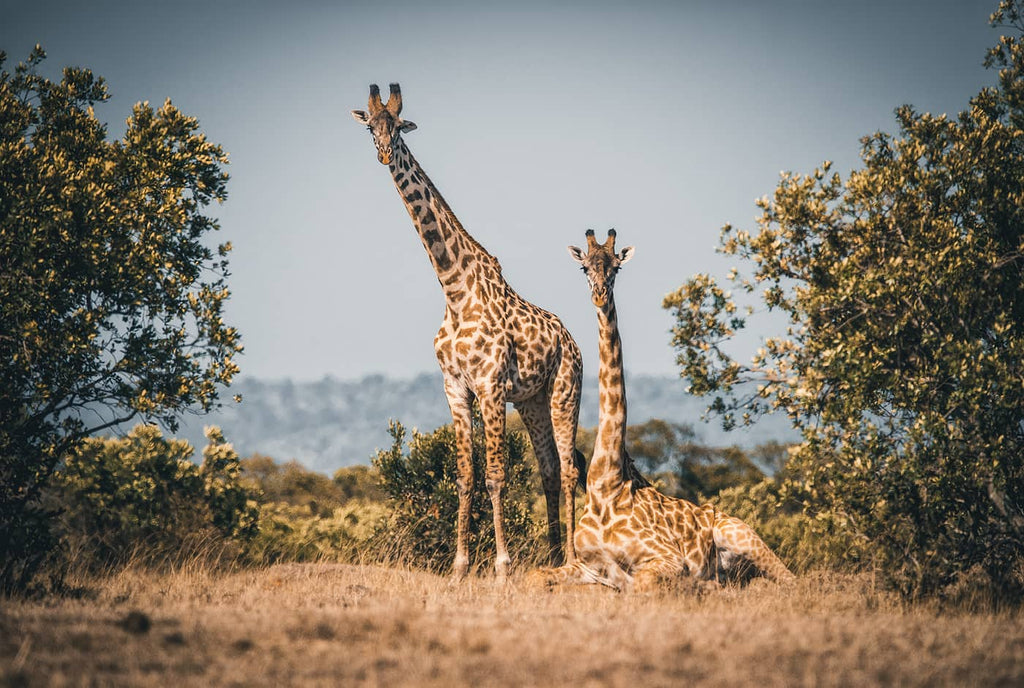 Giraffes in Africa photo by Simon Markhof with Vallerret Photography Gloves
