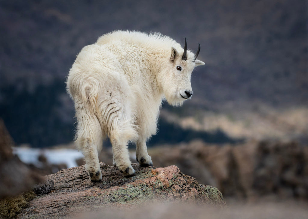 Mountain goat on a hill
