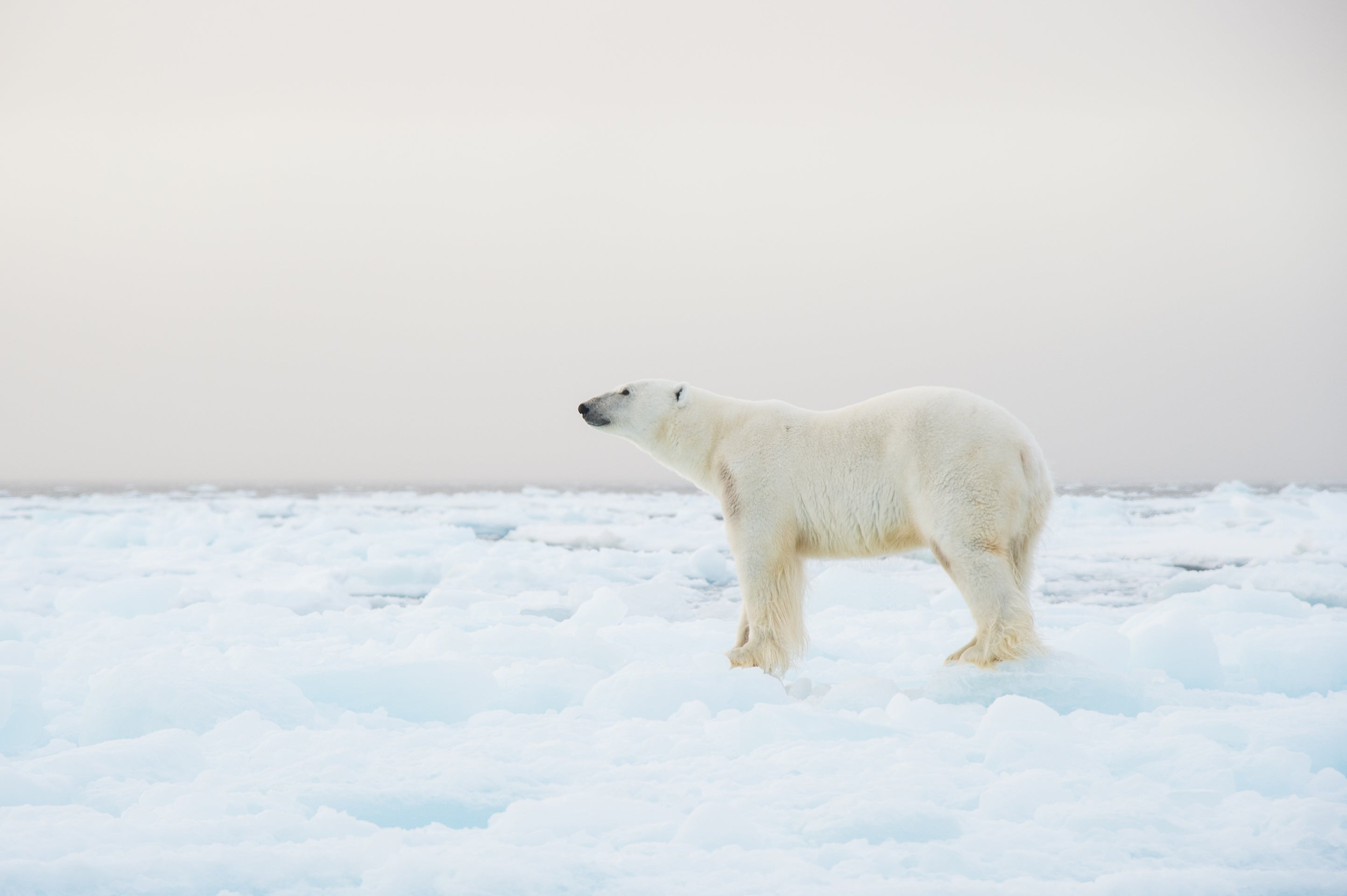 Polar bear on ice photo by Audun Lie Dahl