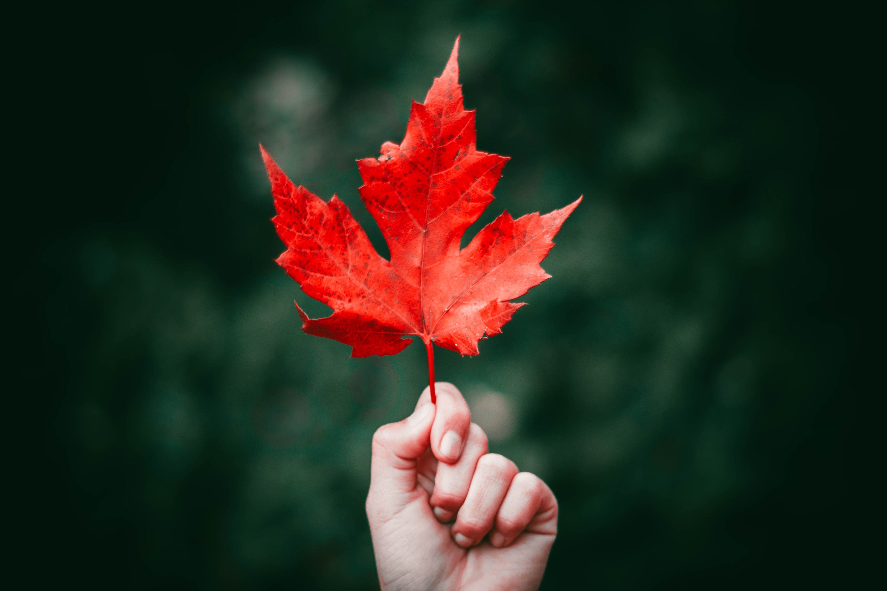 single hand holding a red leaf