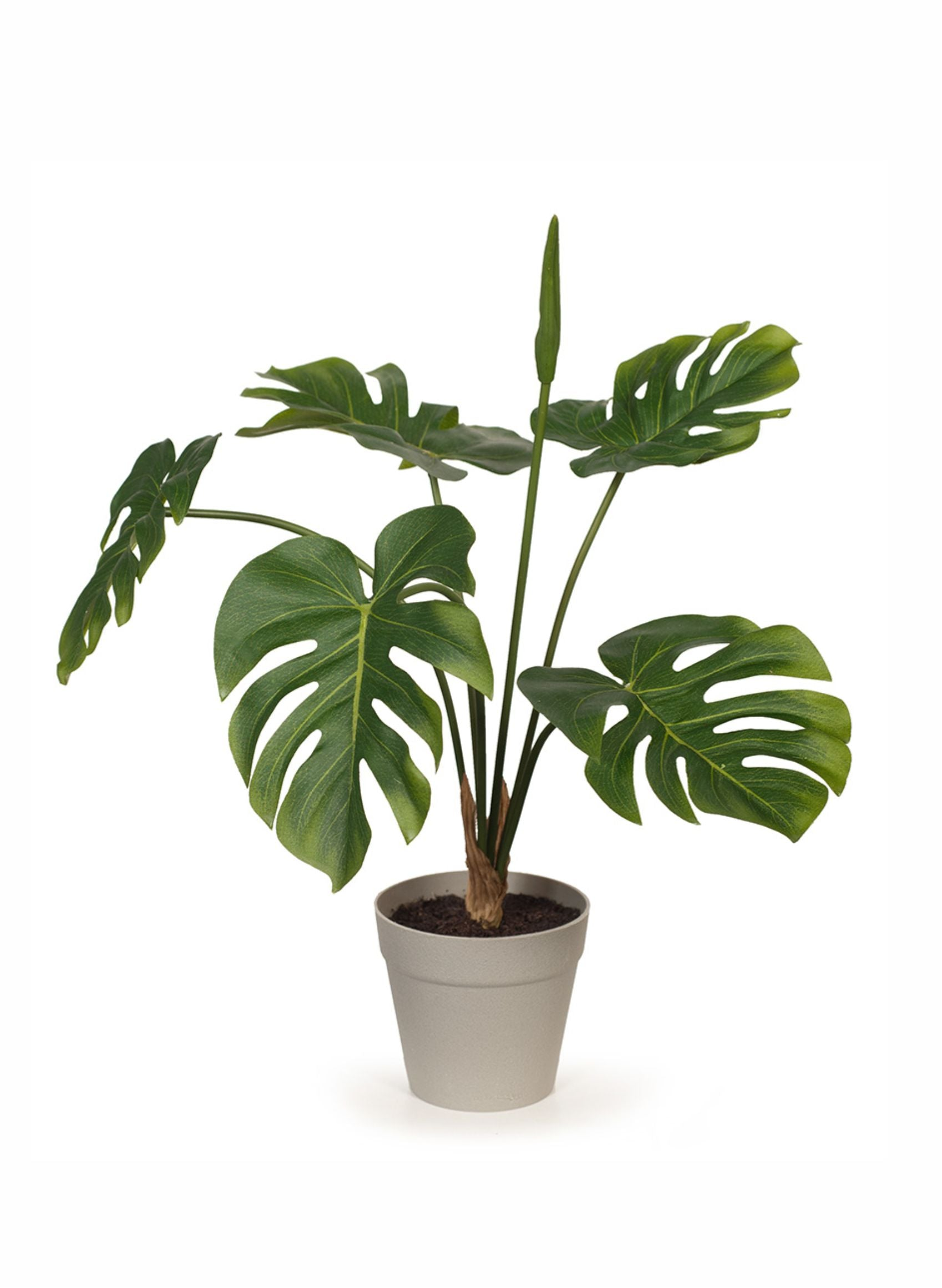 Monstera plant in pot
