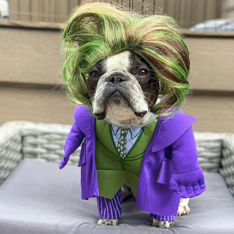 Creative Dog halloween costumes on instagram the joker  costume