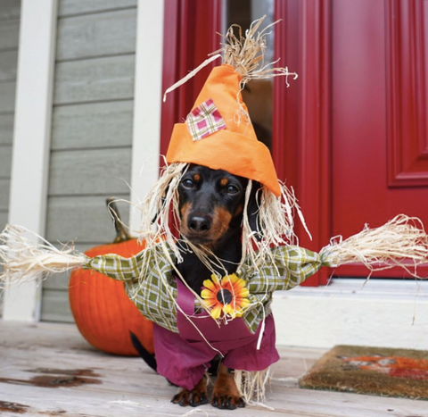Creative Dog halloween costumes on instagram scarecrow   costume @crusoe_dachshund