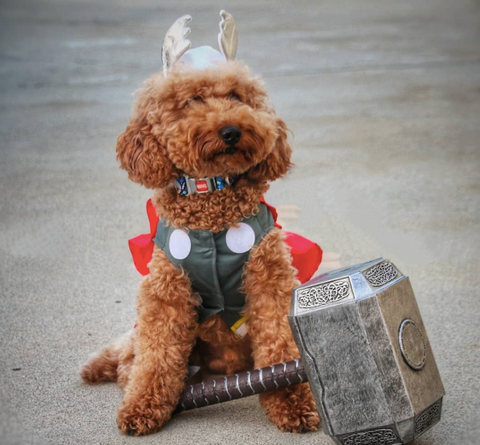 Creative Dog halloween costumes on instagram superhero   costume