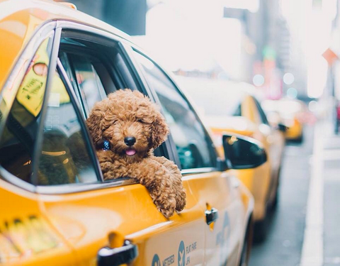Dog friendly guide to NYC dog friendly transportation in New York City Patchwork pet dog blog