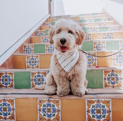Patchwork Pet Dog Blog How to Make your dog instagram famous Mini Dood Winston