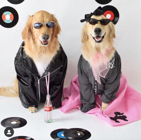 Spookiest Dog halloween costumes on instagram Grease the movie  costume @thegoldensrule