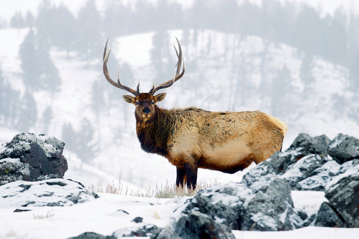 Elk hunting calls for hunters
