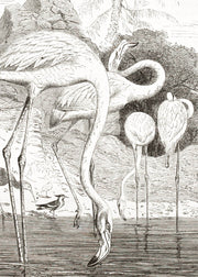 Greater Flamingo II