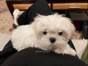 Teacup maltese [lowellteacuppuppies]