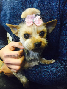 Yorkshire terrier [Lowell Puppies]