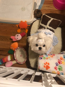 Teacup maltese [lowellpuppies]