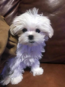Teacup Maltese [Lowell puppies]