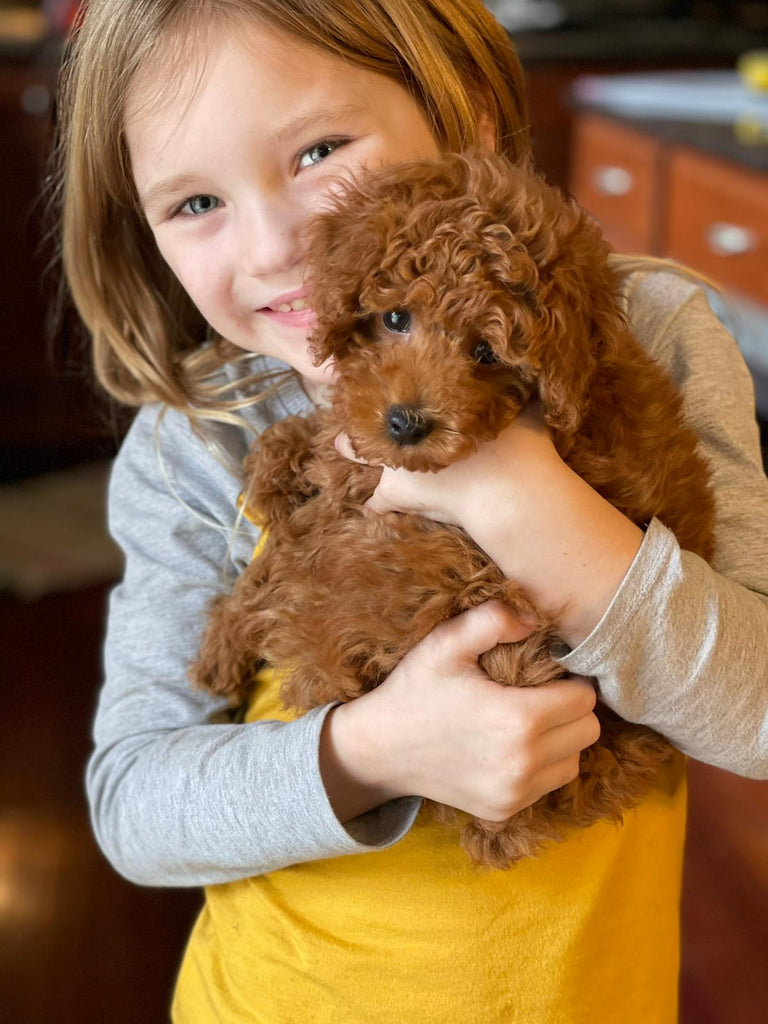 Teacup Poodle  [lowellteacuppuppies]