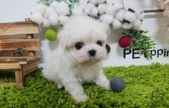 Teacup Maltese female [Kara]