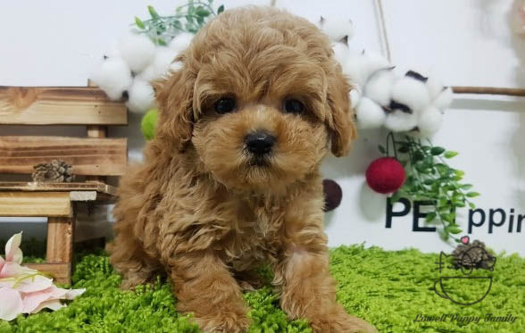 Teacup Maltipoo Male [Biscuit]