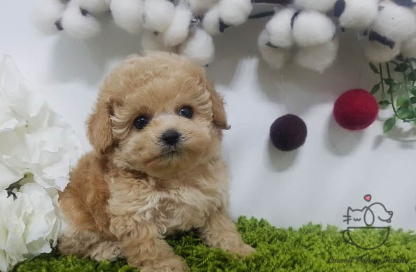Teacup Maltipoo Female [Venus]
