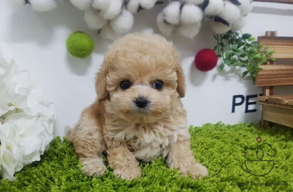 Teacup Maltipoo Female [Jenny]