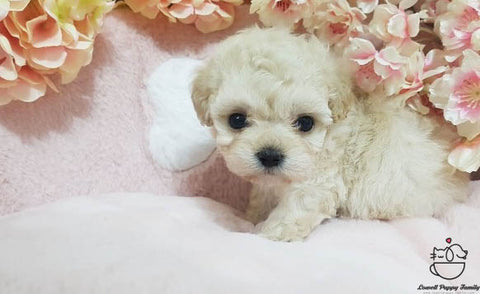 Teacup Maltipoo Female [Erica]