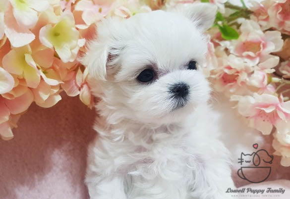 Teacup Maltese Male [Woody]