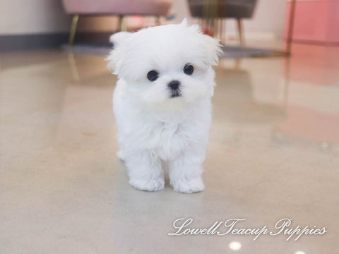 Teacup Maltese Male [Scott]