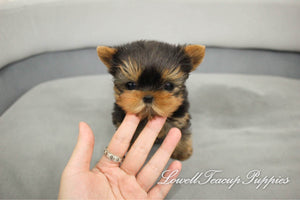 Teacup Yorkie Female [Fendi]