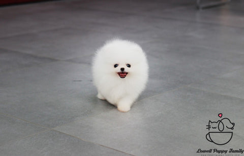 Teacup Pomeranian Male [Bear]