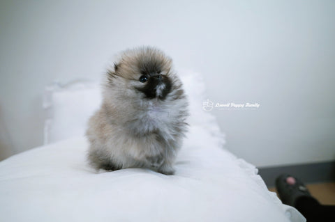 Teacup Pomeranian Female [Foufou]