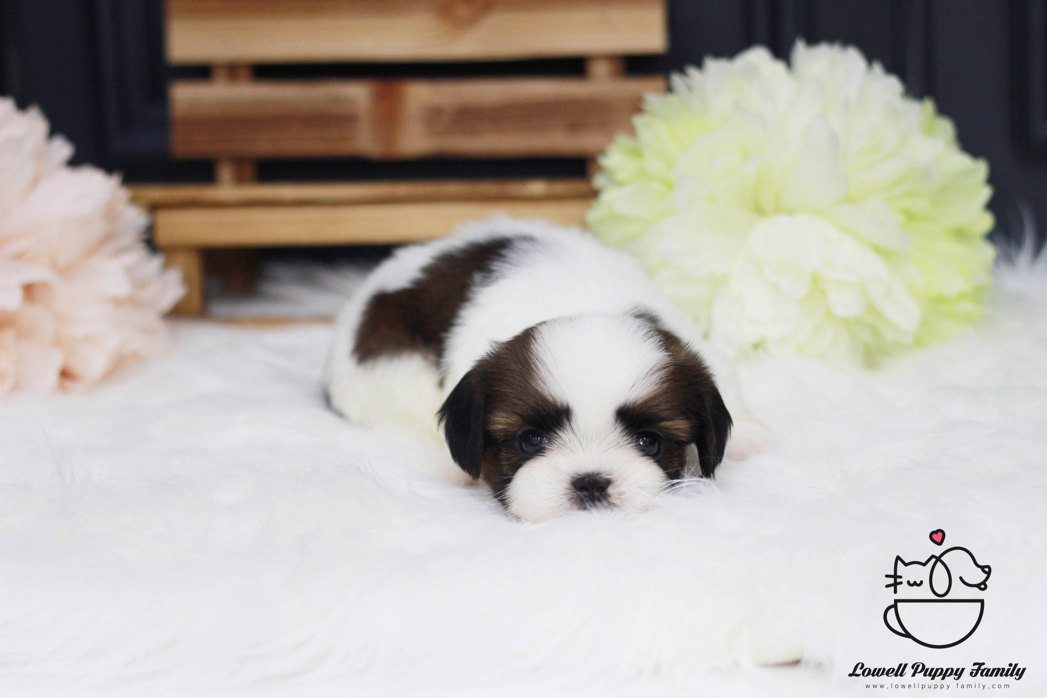 Teacup Shih Tzu Female [Rori]