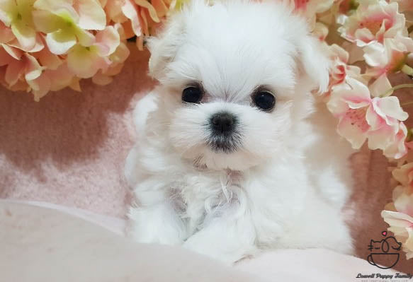 Teacup Maltese Male [Judy]