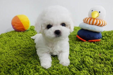 Reservation to janne Teacup Bichon Frise Female [Ashley]