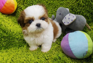 Teacup Shih Tzu Female [Janice]
