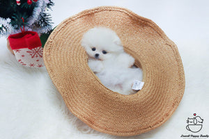 Teacup Pomeranian Male [Buddy]