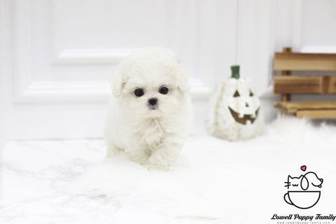 Darryl Li Teacup Bichon Frise Female [Cindy]